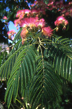 Albizia julibrissin COLD HARDY MIMOSA TREE Seeds!