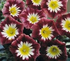 Convolvulus Ensign Series Red Annual Seeds