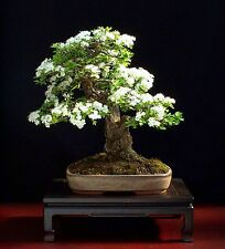COMMON HAWTHORN - 40 SEEDS - CRATAEGUS MONOGYNA - BONSAI - SOW ALL YEAR