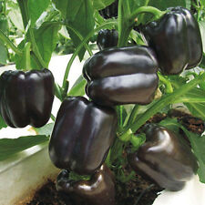 100Pc Sweet Pepper Seeds Balcony Potted Organic Vegetable Plant Seeds Black New