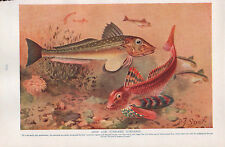 1911 NATURAL HISTORY DOUBLE SIDED PRINT ~ GURNARDS / NATURAL COLOURS OF FISH