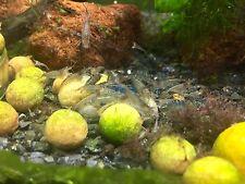 10+2 Malawa Shrimps Live Freshwater Shrimp Aquarium Sulawesi Caridina Inverts