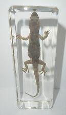 Common House Gecko Hemidactylus frenatus Clear Education Animal Specimen