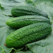 Kings Seeds - Cucumber Partner F1 (Gherkin) - 20 Seeds
