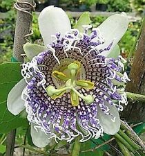 Passion Flower seeds (Passiflora Actinia) - Huge Blooms,Unusual