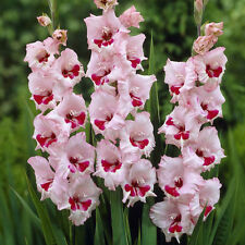 Gladiolus Wine and Roses Bulbs Lovely Sword Lily Gladioli Corn Flag