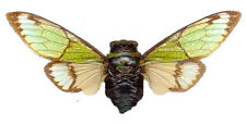 Taxidermy - real papered insects : Cicadidae : Salvazana mirabilis  SPREAD