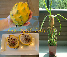 GIANT Yellow (Selenicereus megalanthus) Pitaya can be grown in pots! RARE SEEDS.