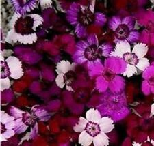 Dianthus - Microchip Mixed - 500 Seeds