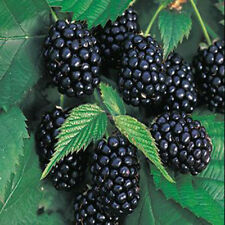 100pcs Rare Giant Blackberry Seeds Thornless Nutritious Healthful Antioxidant