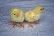 5+ Purebred Delaware Chicken Hatching Eggs (Soy & GMO Free) NPIP