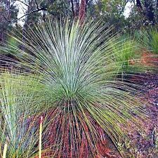 GRASS TREE SEEDS XANTHORRHOEA RESINOSA NATIVE FLOWERING LANDSCAPING 40 SEED PACK