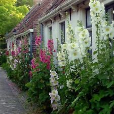"""Hollyhock Carnival Mix Grows to 6 Feet 4"""" Blooms 50 Seeds Free Ship!"""