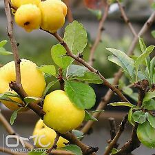 JAPANESE QUINCE (Chaenomeles Japonica) 40+EXTRA seeds (#21)