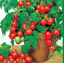 Total 15 Seeds,Beautiful Cherry Tomato Bonsai Tree Seeds