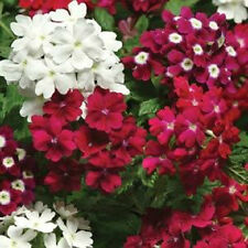50 Seeds Verbena Quartz XP Merlot Mix Verbena Seeds