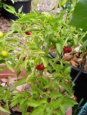 MINI CHOCOLATE BELL PEPPER~15 SEEDS~FREE SHIPPING!