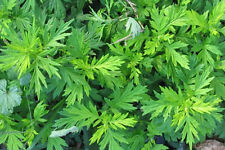 MUGWORT seeds - outstanding dream herb - easy to grow!