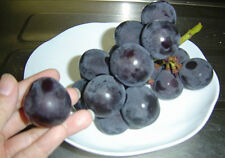 GRAPE SEEDS - GIANT MOUNTAIN GRAPE - FRUIT BEARING CLIMBING VINE - 15 Seeds