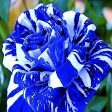 Blue Gragon Rose Flower Seeds 30 Pcs Home Garden Plants Decoration Free Shipping