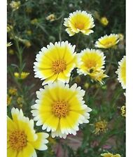 FD1664 Egg Flower Seed Layia Hot Rare Seeds ~1 Pack 30 Seeds ~