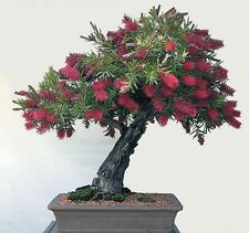 Callistemon Citrinus-AUSTRALIAN CRIMSON bottlebrush - 50 + FRESH BONSAI SEMI
