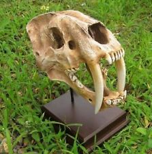 Smilodon Saber Tooth Sabertooth Tiger 1:1 Replica Skull Model Collection Craft