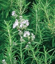 * ROSEMARY OFFICINALIS * HEIRLOOM, ORGANIC HERB!!  25  SEEDS