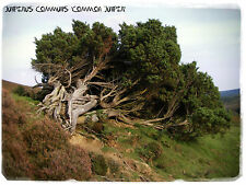 Juniperus communis 'Common Juniper' [Prov. UK] 30+ Seeds!