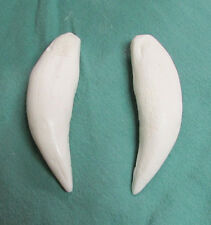 Set of upper ti-liger lion tiger hybrid canines fangs cast replica taxidermy