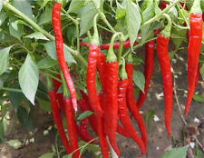 50xLong Giant Red Spices Spicy Chili Pepper Seeds Plants Home Garden Vegetable