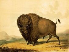PAINTINGS ANIMAL BUFFALO BISON BULL MALE PRAIRE AMERICAN ART POSTER PRINT LV6917