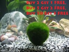 Large Marimo Moss Ball (~1 Inches) Live Cladophora Moss Aquarium Shrimp Plant