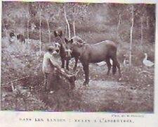 1905  --  DANS LES LANDES MULES A L ABREUVOIR  Z281