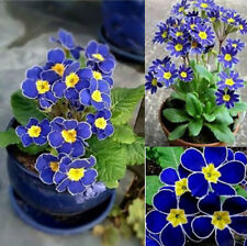 100pcs Plant Evening Primrose New Rare Flower Blue Seeds Easy to Garden Decor