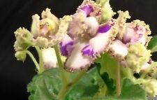African violet Green Rose (LE Green Rose / LE Zelenaya Rosa)  live plant Russian