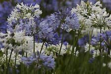 AFRICAN LILY * LILY OF THE NILE * Agapanthus praecox * GETTY WHITE * SEEDS