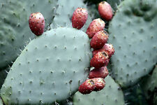 Spineless Thornless Edible Nopales Prickly Pear Cactus, 4 Pads - FREE SHIPPING