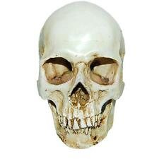 Realistic 1:1 Human Skull Replica Resin Model Anatomical Medical Skeleton