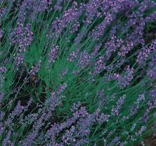 Herb Seeds - Lavender English - 400 Seeds