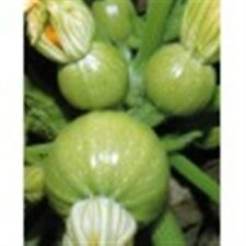 FRENCH COURGETTE ZUCCHINI SUMMER SQUASH RONDE DE NICE 10 ORGANIC  seeds