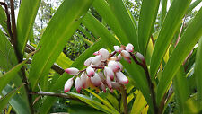 Lot of 3 RARE Shell White Ginger Alpinia Zerumbet Rhizomes w/ Roots FROM HAWAII