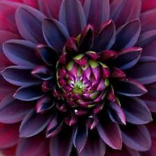 10+ Black Dahlia Flower Seeds / Annual
