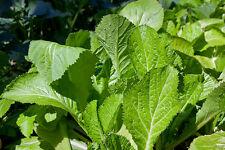 100 MUSTARD GREENS SAVANNAH  SEEDS, NON GMO+ FREE GIFT*