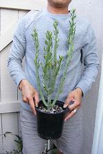 Senecio anteuphorbium Succulent - Rare