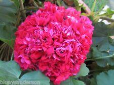 GERANIUM PELARGONIUM HOT PINK ROSEBUD PLANT $7  POSTAGE 3 FOR $7.50