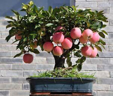 20 Semillas De Mini De Apple Bonsai Árbol Casa crecer exótica Planta Pitch Monkey