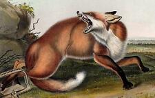 Audubon AMERICAN RED FOX  Quadrupeds of North America Plate 87 1st Ed 1851
