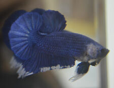 live betta fish- MALE - IMPORTED ROYAL BLUE AND WHITE FANCY HMPK