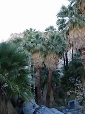 Washingtonia Filifera California palmito (enviado En Pote De 9cm)